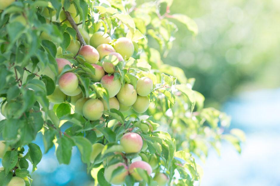 みずみずしい梅の実